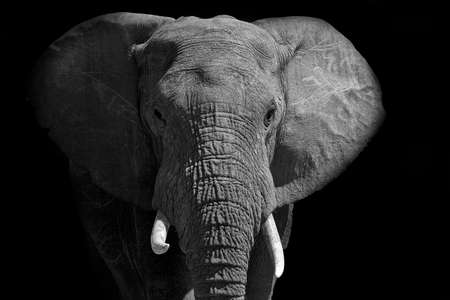 Large African male elephant walking into the bright light in black and white