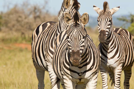 Three zebras standing in short grass in the hot summers sun