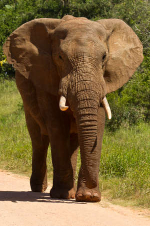 portrait of a Large african elephant walking slowly down a gravel road next to the grass edge