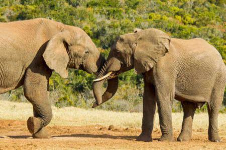 young african elephants pushing and shoving each other at a water hole on a hot summers day