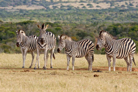 Family of zebras standing and resting at a dry water hole on a hot summers day