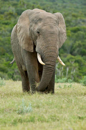 Huge African elephant standing and pulling out dry grass with its trunk in a field