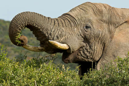Huge elephants standing and picking leaves with its trunk Stock Photo