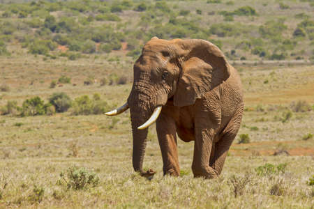 Large male African elephant walking through a savannah of short dry grass