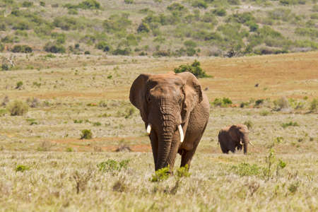 two large male African elephants walking in a savannah grassland