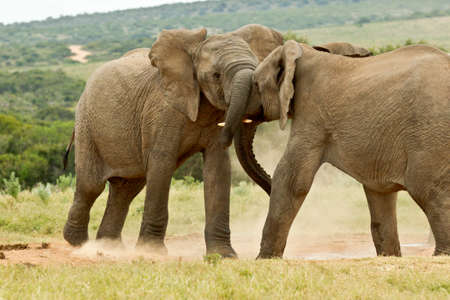 two young elephants wrestling with their trunks at a water hole