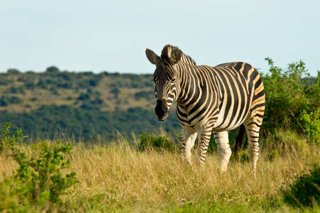 single lonely zebra walking through a savanna land of short dry grass Stock Photo