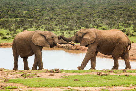 Two young elephants pushing each other at a water hole