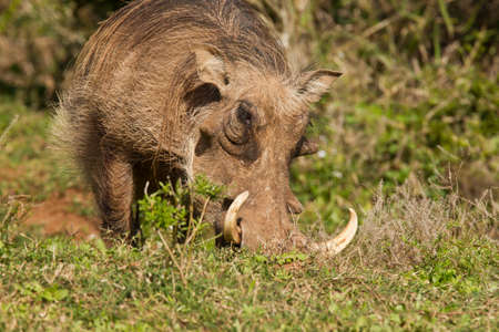 Huge warthog with large tusks eating long tasty green grass Stock Photo