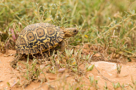 young leopard tortoise walking over a small sand hill and short grass