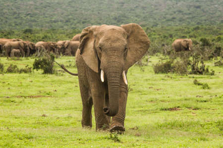 Agitated young African elephant walks toward the camera at speed
