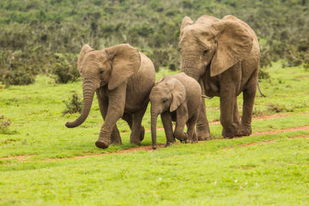 Family of African elephants walking along a dirt path towards a water hole