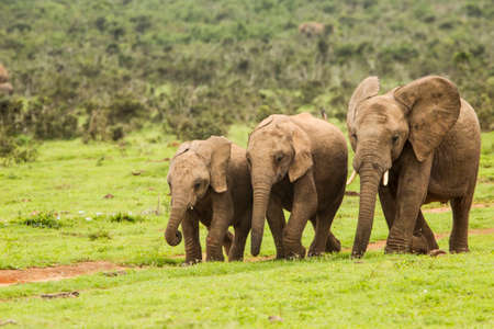 three young African elephants in a row walking down a path to a water hole