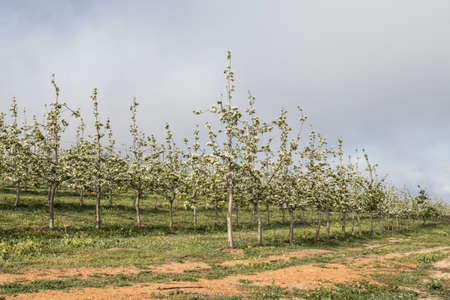 large blossoms forming on the branches of apples trees in an orchard