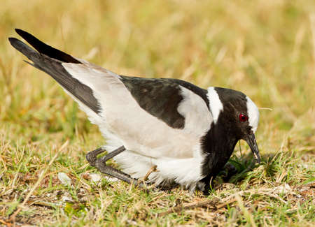 Black smith plover about to sit on eggs on its nest in a grass field