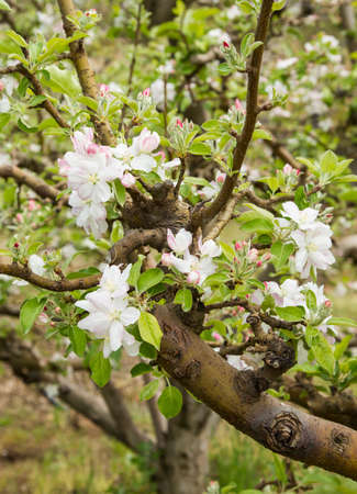 close up view of beautiful apple blossoms on a branch in full bloom