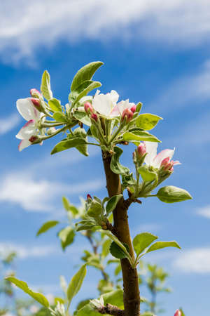 Apple tree branch with beautiful blossoms and buds in sunlight