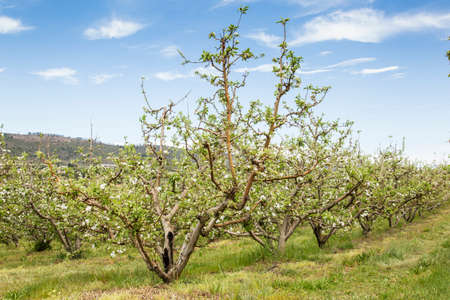 orchard of apple trees in straight rows in full bloom
