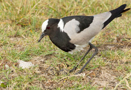 Blacksmith plover and its eggs in short grass on a sunny day