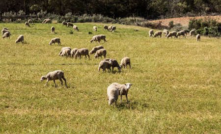 Large flock of unshaven sheep eating in a meadow of grass