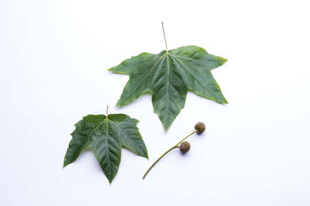 London plane tree leaves and seeds isolated on a white background