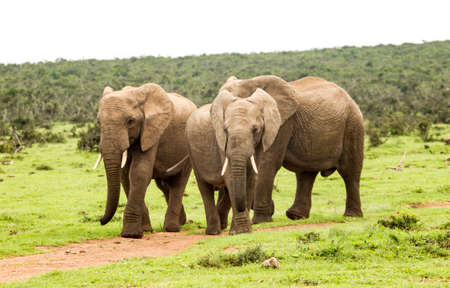 young family of African elephants walking along a path to a water hole