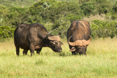 muddy: Two huge African buffalo standing and grazing grass in the morning light