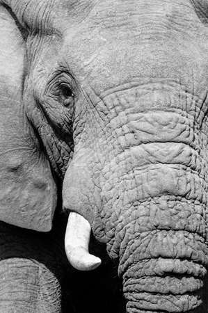 Black and white portrait of a large African elephant with big tusks