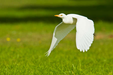 Cattle egret flying very low across short green grass and coming into land Stock Photo