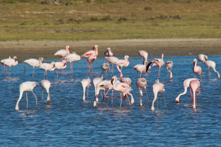 Pink Flamingos feeding in a river estuary early in the morning