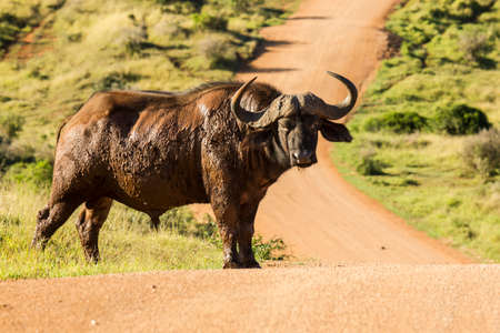 Huge african male buffalo standing on a gravel road in a game park