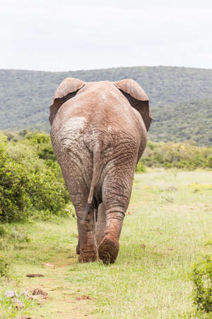 Single lonely African elephant full of mud walking away from the camera toward thick dense bush