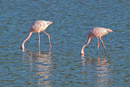 two beautiful pink flamingos standing in a lake and feeding with their beaks in the water