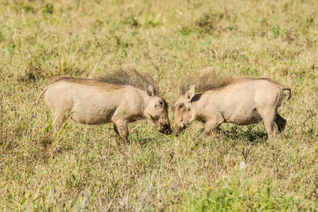 two young warthogs playing in long grass in the hot sun