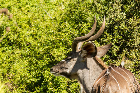 Young kudu standing in thick bush and chewing leaves in the hot sun