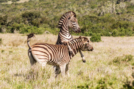 Young zebra at play in long dry grass in Addo in south africa
