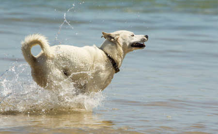 Young dog running fast through shallow water at the beach