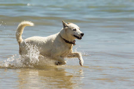 Young dog running and splashing in shallow water at the beach Stock Photo