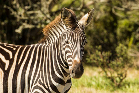 Zebra portrait while walking through short grass  Stock Photo