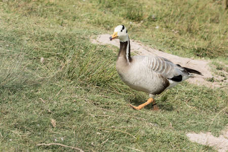 Bar - headed goose walking up a sloped grass bank with wild grass