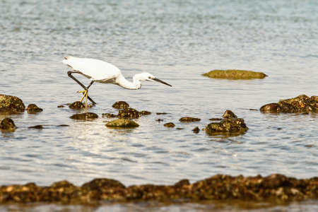Little egret stretching forward to catch some food in a rock pool on a sunny day