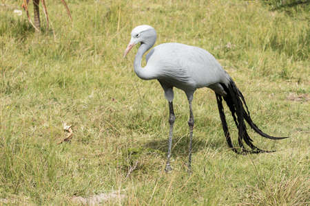 Blue crane bird standing and looking for food in thick savanna grass area