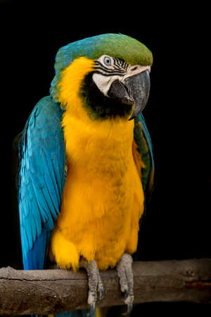 Blue throated macaw parrot sitting on a branch watching passers by Stock Photo