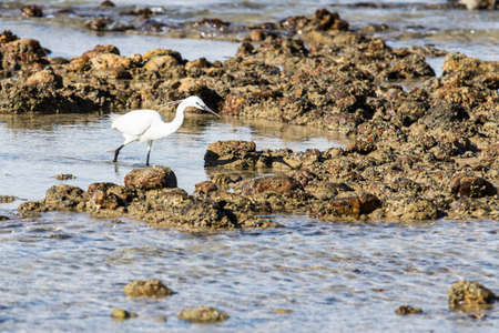 Little egret hunting for food at a rocky coastline at low tide late in the afternoon