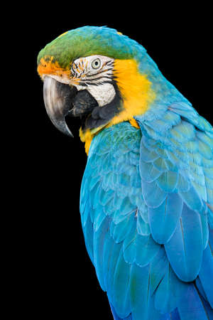 Blue throated Macaw parrot bird turning its head while sitting on a tree branch Stock Photo