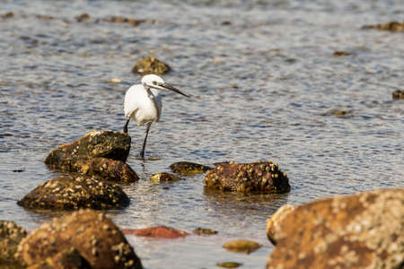 Little egret walking through a rock pool looking for food on a sunny day Stock Photo