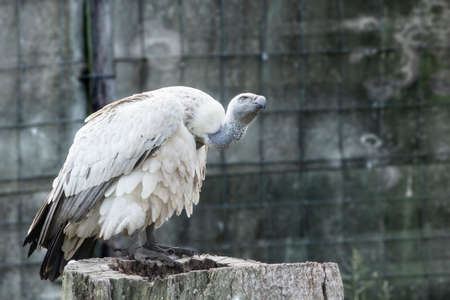 cape vulture sitting on a tree stump while looking around at its surroundings Stock Photo