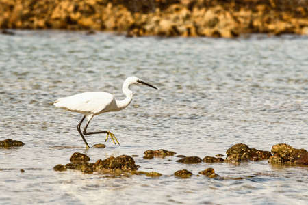 Little egret walking through a shallow rock pool looking for food
