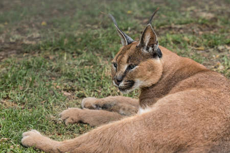 An alert caracal lynx cat looking around while resting under a large tree