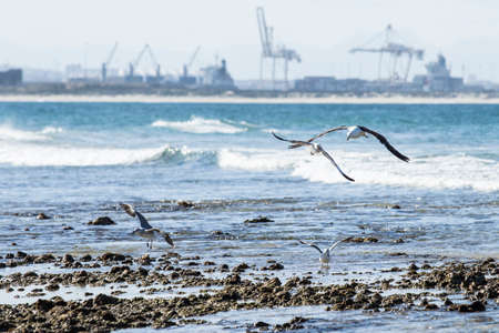 Seagulls taking off and landing from a rocky beach at low tide late in the after noon Stock Photo
